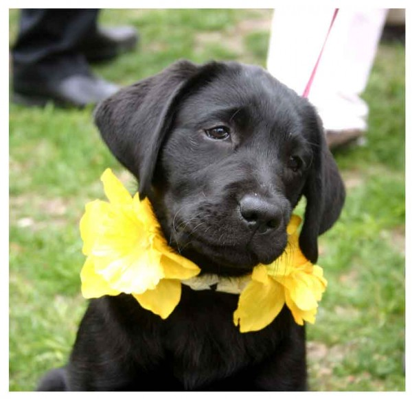 daffy-page_black-lab