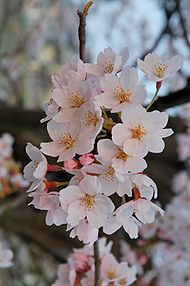190px-2007_Sakura_of_Fukushima-e_007_rotated